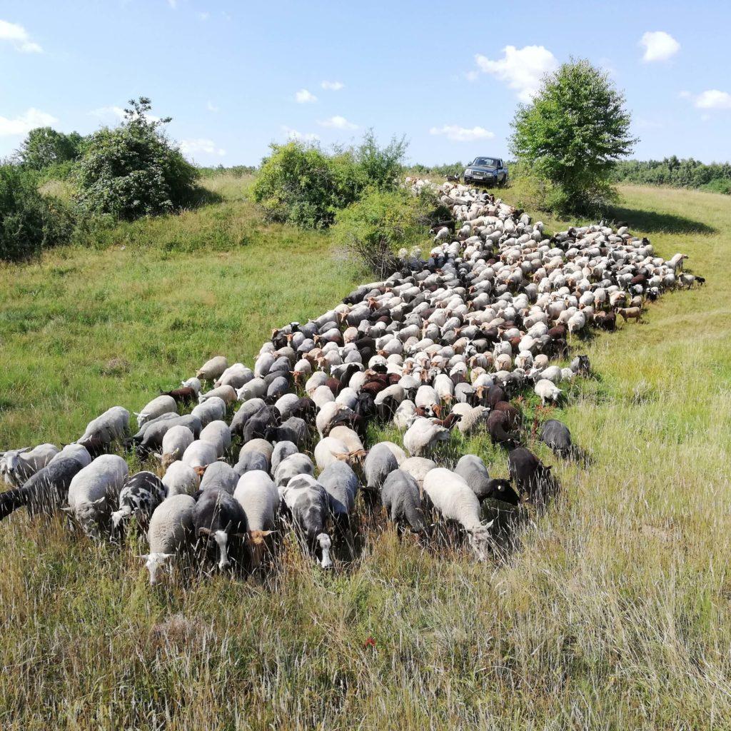 Landleben: bunte Schafherde