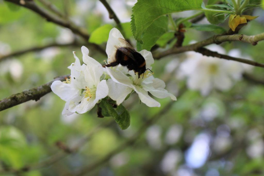 Die Streuobstblüte bietet Insekten Nahrung.