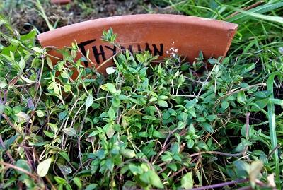 Garten-Kräuter Thymian