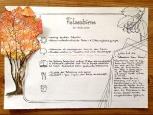 Pflanzenportrait Felsenbirne Entwurf